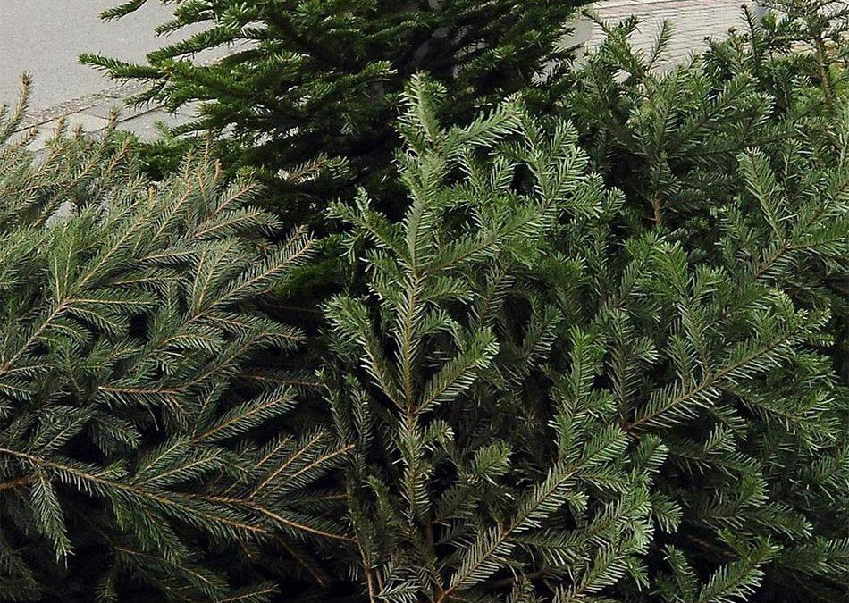 Entsorgen der Weihnachtsbäume in der Gemeinde Sylt